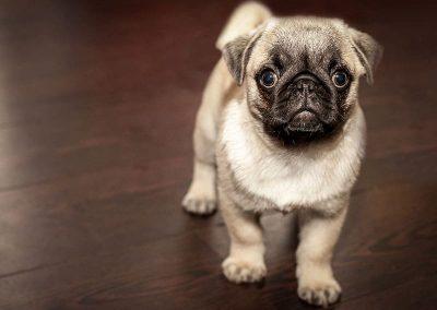 cachorro-perro