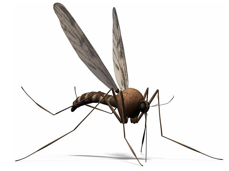 El mosquito de la Leishmaniosis