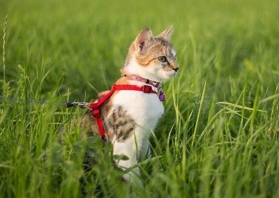 gato-paseo