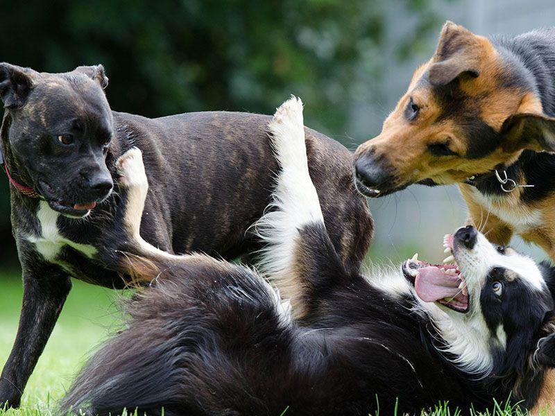 Grupos de perros