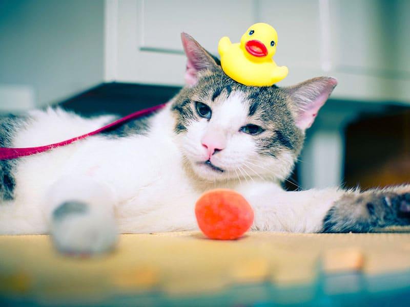 Bañar a tu gato