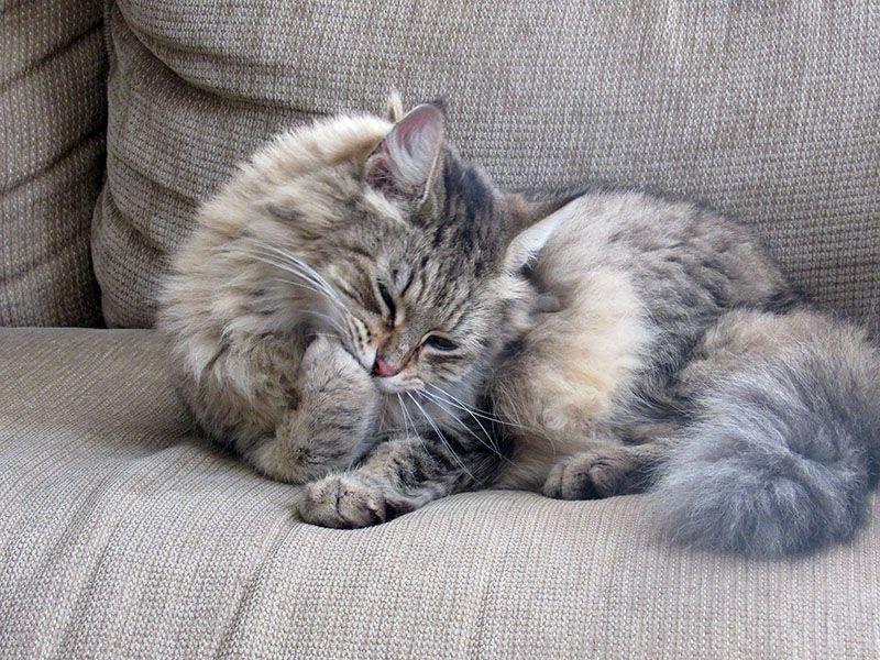 Las bolas de pelo indigestas de los gatos