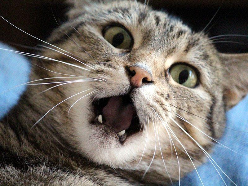 Estrés en los gatos