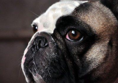 inteligencia-canina