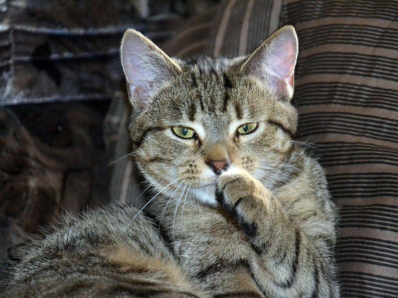 Peluquería felina o cómo limpiar a un gato