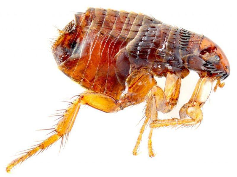 Tenias, pulgas y demás parásitos