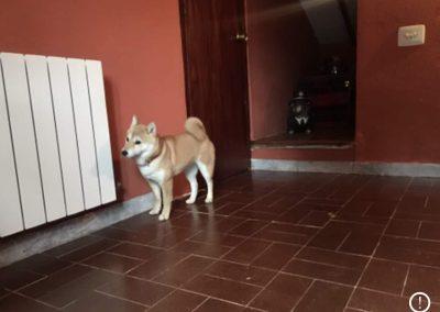 Akita en guardería canina dentro de casa