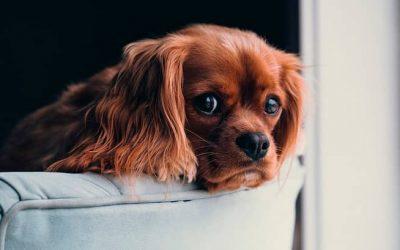 Cómo dejar a mi cachorro solo en casa